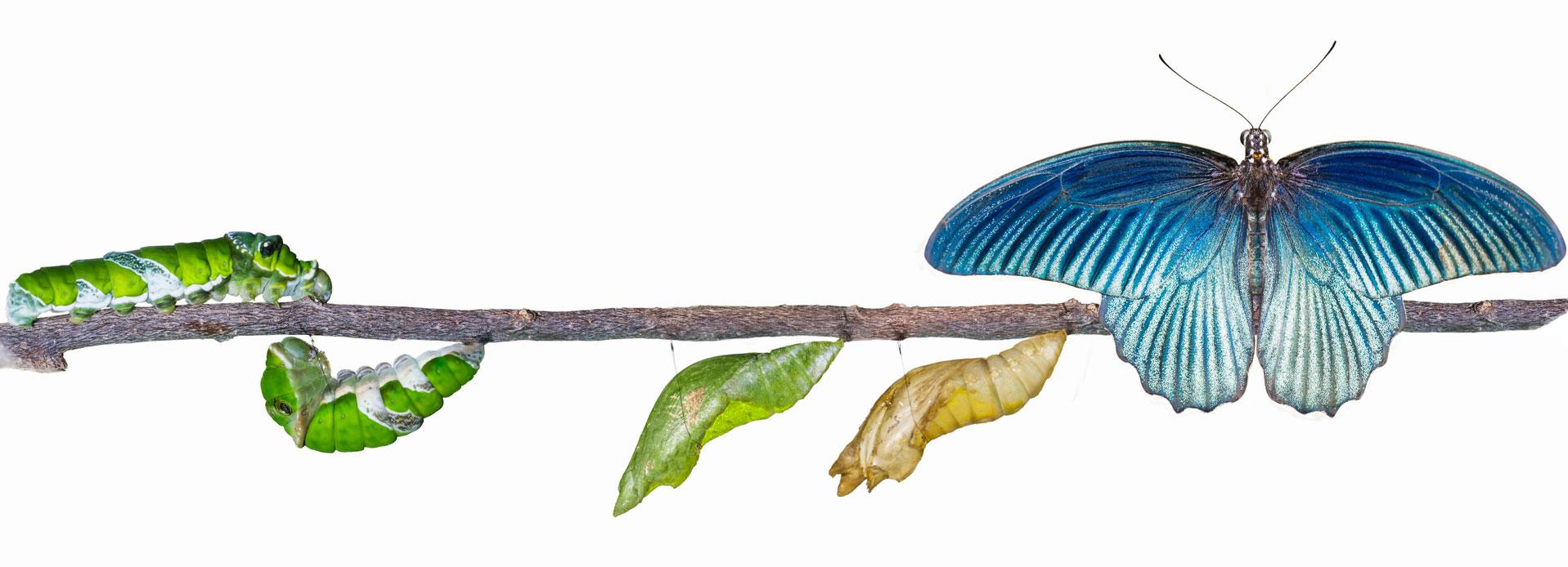 butterfly-metamorphosis